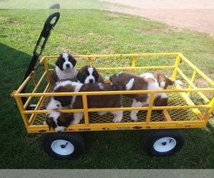 Saint Bernard Puppy for sale in MARENGO, WI, USA