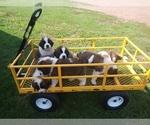 Saint Bernard Puppy For Sale in MARENGO, WI, USA