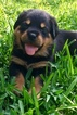 Rottweiler Puppy For Sale in GRAPEVINE, TX, USA