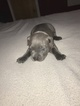 American Bully Puppy For Sale in HUFFMAN, TX, USA