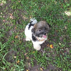 Havanese Puppy For Sale in HOUSTON, TX