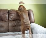 Small #11 Olde English Bulldogge