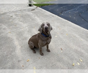 Father of the Weimaraner puppies born on 06/30/2020