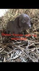 German Shorthaired Weimaraner-Weimaraner Mix Puppy For Sale in SPRINGFIELD, CO, USA