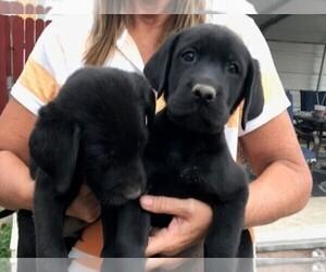 Labrador Retriever Puppy for sale in PARKER, CO, USA
