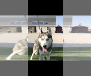 Father of the Siberian Husky puppies born on 04/30/2021
