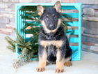 German Shepherd Dog Puppy For Sale in MOUNT JOY, PA, USA
