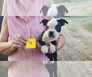 Boston Terrier Puppy for Sale in CALDWELL, Texas USA