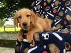 Labradoodle Puppy For Sale in PEACH BOTTOM, PA,