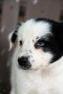 Border Collie Puppy For Sale in BERWICK, PA,