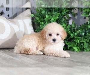 Poodle (Toy) Dog for Adoption in MOUNT VERNON, Ohio USA