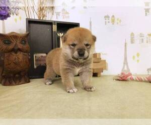Shiba Inu Puppy for sale in NEWPORT BEACH, CA, USA