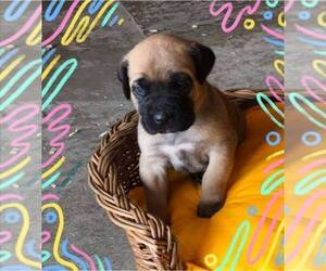 Daniff Puppy for sale in ARCHBOLD, OH, USA