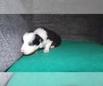 Small #8 Border Collie
