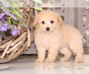 Poochon Dog for Adoption in MOUNT VERNON, Ohio USA