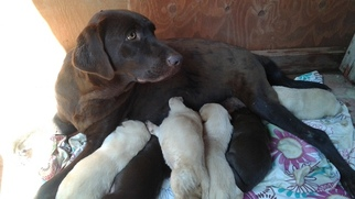 Mother of the Labrador Retriever puppies born on 11/03/2018