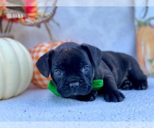 Frengle Puppy for sale in LANCASTER, PA, USA
