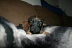 Soft Coated Wheaten Terrier Puppy York
