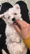Maltipoo-Yorkshire Terrier Mix Puppy For Sale in NORTH PLAINFIELD, NJ, USA
