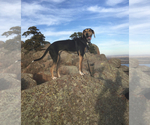 Small Treeing Walker Coonhound