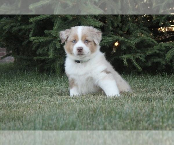 Medium Photo #6 Australian Shepherd Puppy For Sale in CARMEL, IN, USA