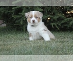 Small Photo #6 Australian Shepherd Puppy For Sale in CARMEL, IN, USA