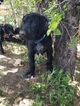 German Shorthaired Pointer Puppy For Sale in COLORADO SPRINGS, CO, USA
