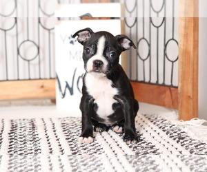 Boston Terrier Puppy for sale in NAPLES, FL, USA