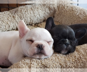 French Bulldog Puppy for Sale in AMHERST, New Hampshire USA
