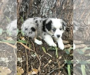 Miniature Australian Shepherd Dog for Adoption in BOWLING GREEN, Kentucky USA