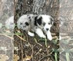 Puppy 2 Miniature Australian Shepherd