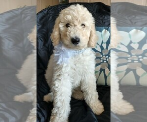 Sheepadoodle Puppy for Sale in RIALTO, California USA