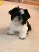 Shih Tzu Puppy For Sale in BOTHELL, WA