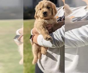 Golden Retriever Puppy for sale in WESTLAKE VILLAGE, CA, USA