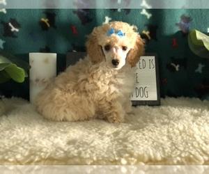 Poodle (Toy) Puppy for Sale in WINSTON SALEM, North Carolina USA