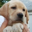 Yellow AKC Labrador Retrievers