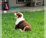 Small Photo #4 Australian Shepherd Puppy For Sale in CLARKSVILLE, TX, USA