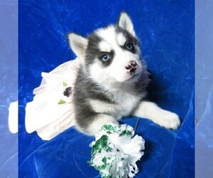 Siberian Husky Puppy for Sale in GROVESPRING, Missouri USA