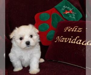 Maltese Dog for Adoption in CASSVILLE, Missouri USA