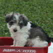 Chonzer Puppy For Sale in GAP, PA, USA