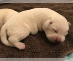 Small #18 Labrador Retriever