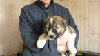 Caucasian Shepherd Dog Puppy For Sale in BROOKLYN, NY, USA