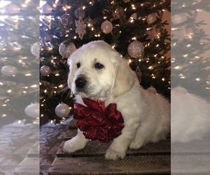 English Cream Golden Retriever Puppy for sale in CENTERBURG, OH, USA