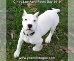 Small Photo #202 Dogo Argentino Puppy For Sale in PINEVILLE, MO, USA