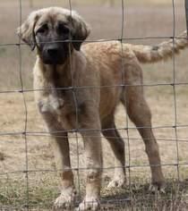 Anatolian Shepherd Puppy For Sale in SANDERSVILLE, GA
