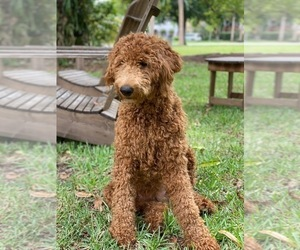 Mother of the Goldendoodle puppies born on 05/16/2021