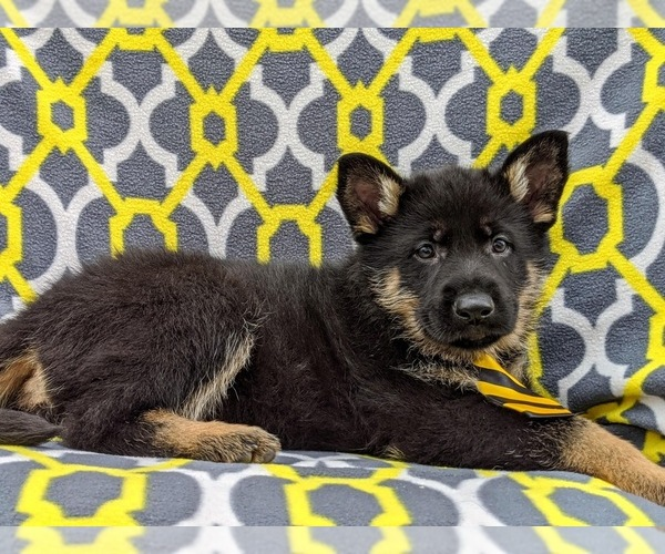 Medium Photo #4 German Shepherd Dog Puppy For Sale in NEW PROVIDENCE, PA, USA