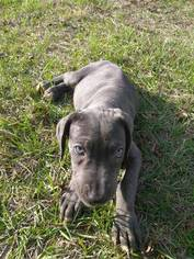 Neapolitan Mastiff Puppy For Sale in WINTER GARDEN, FL, USA