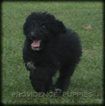 Aussiedoodle Puppy For Sale in WAYLAND, IA, USA