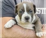 Puppy 4 American Bully